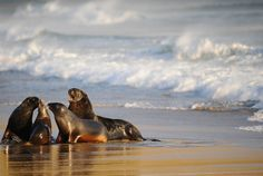 Seals on the South Island