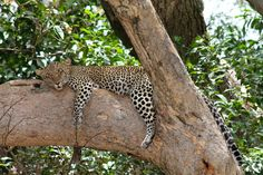 This #WildlifeWednesday we are feeling a bit like this leopard after all of the festivities yesterday! Thanks to our guest Borgy Leakey for the great photo 🌍