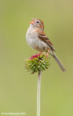 """My Name is Caruso by Axel Hildebrandt via 500px. """"This Field Sparrow was singing to claim his territory. Photographed in Pennsylvania."""""""