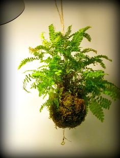 Moss & Fern String Garden - Ecobata. What do you think about plants in your classroom.