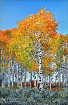 My favorite tree~~Blazing Aspens ~ autumn in Grand Teton National Park, Wyoming by Zack Schnepf~~ Tree Forest, Forest Flowers, Autumn Forest, Aspen Trees, All Nature, Foto Art, Grand Teton National Park, Parcs, Plantation