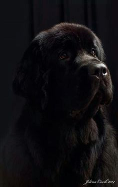 10 Most Important Tips to Training Your Puppies Big Dogs, Large Dogs, I Love Dogs, Cute Dogs, Dogs And Puppies, Doggies, Terranova Dog, Animals And Pets, Cute Animals