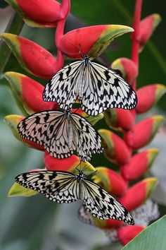 One of the most amazing creatures we see in the garden is the beautiful Butterfly. Beautiful Bugs, Beautiful Butterflies, Beautiful Flowers, Paper Butterflies, Red Flowers, Beautiful Creatures, Animals Beautiful, Butterfly Kisses, Butterfly Gif