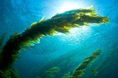 Google Image Result for http://www.uwphotographyguide.com/images/kelp_baitball.jpg