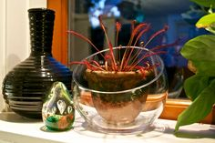 Carnivorous Plants drosera capensis (love the pot in a glass container. doesn't have to be carnivorous)