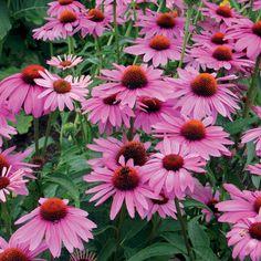 Echinacea. 'Primadonna Deep Rose Pink'