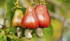 The cashew nut grows from the bottom of the cashew fruit of the cashew tree. Greek Diet, Stuffed Mushrooms, Stuffed Peppers, Greek Salad, Medicinal Herbs, Greek Recipes, Food Items, Tomato Sauce
