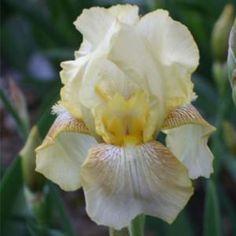 TB Iris Dawn of Fall