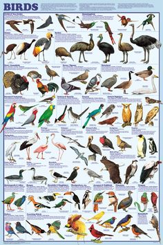 Laminated Birds Educational Science Chart Poster 24 x Attractive colorful educational poster charts 30 major types of bird species and measures 24 inches by 36 inches Science Chart, Bird Identification, Bird Poster, Poster Poster, Australian Birds, Game Birds, Beautiful Posters, Animal Posters, Bird Pictures