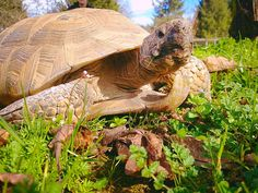 Thomas, our resident Desert Tortoise knows spring is just around the corner and is very excited for many more sunshine walks to come! #WildlifeImages #DesertTortoise