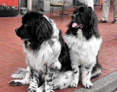 The Newfoundland is a breed of large dog. Newfoundlands can be black, brown, gray, or black and white. They were originally bred and used as a working dog for fishermen in the Dominion of Newfoundland, now part of Canada. They are known for their giant size, tremendous strength, calm dispositions, and loyalty. Newfoundland dogs excel at water rescue/lifesaving due to their muscular build, thick double coat, webbed feet, and innate swimming abilities