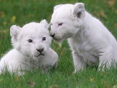 white lion puppies