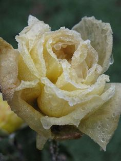 elegant yellow rose covered in dew, water droplets, nostalgic, magic