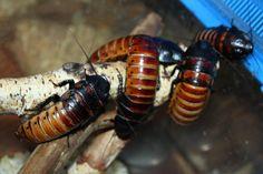 Мадагаскарские шипящие тараканы - насекомые покрыты хитином