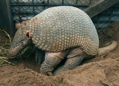 Animal of the day: the giant armadillo, Priodontes maximus, an endangered species native to South America