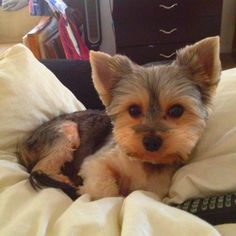 #morkie #dogs #cute Dog Love, Puppy Love, Maltese Yorkie Mix, Yorkshire Terrier, Dog Treats, Cuddling, Fur Babies, Cute Animals, Puppies