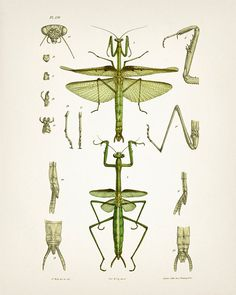 Praying Mantis Drawing : Fine art print of a vintage natural history antique illustration, 8x10 11x14 12x18 13x19 IN-03