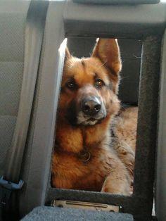 Car Volkswagen, Dog Car, Shepherd Dog, Dog Pictures, Corgi, German, Animals, Beautiful, Deutsch