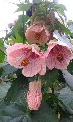 Abutilon rosa
