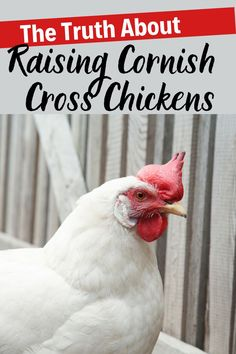 Cornish Cross chickens are the most common type of meat bird raised by homesteaders and farmers. The truth is that raising Cornish Cross chickens is different than raising other breeds of chickens, so before you dive in, make sure you know what to expect and you're ready to take care of these birds properly. Raising Meat Chickens, Raising Backyard Chickens, Chicken Feed, Chicken Eggs, Art Village, Types Of Meat, Cool Words, Farmers, Birds