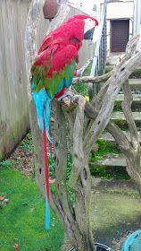 The Zen Parrot: Of Parrots, Politics, and Coffee: The Parrot Diaries: Parrot Poop: What Is It Good For? Green Wing Macaw, Parrots, Go Outside, Beautiful Birds, Diaries, Cute Animals, Good Things, Lady Gaga, Feathers