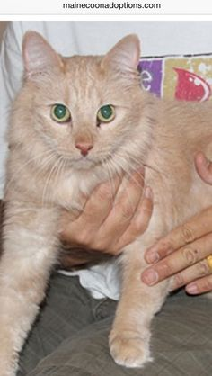 URGENT. 8/22/14, Oakland, CA. Maumi, a 3-year-old Maine Coon mix male, needs a new home by 8/28/14 as his father can no longer live on his own. Please contact Ling-fan at rhouseusa@yahoo.com. This is a Courtesy Post, this cat is not with Maine Coon Adoptions.