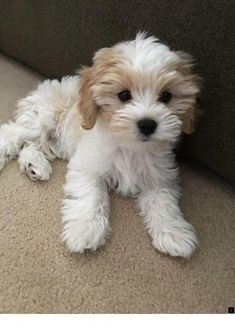 My sweet Cavachon - Hund - Puppies Cute Dogs And Puppies, Baby Dogs, Doggies, Puppies Stuff, Dog Stuff, Animals And Pets, Funny Animals, Havanese Puppies, Maltipoo