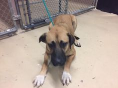 This DOG - ID#A468981 - URGENT - Harris County Animal Shelter in Houston, Texas - ADOPT OR FOSTER - 1 year old Female German Shepherd mix - at the shelter since Sep 24, 2016.