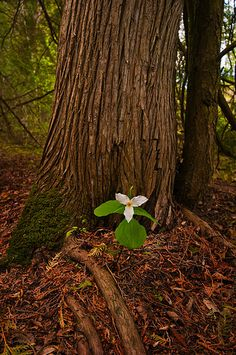 Trillium my favorite flower! I first saw them while camping as a child, it was illiegal to pick the they were so rare. Woodland Flowers, Woodland Garden, Spring Wildflowers, Bokeh Photography, Canada Eh, Happy Paintings, Walk In The Woods, Spring Has Sprung, True Beauty