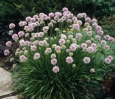 Klehm's Song Sparrow Farm and Nursery--SUN--Allium tanguticum 'Summer Beauty'