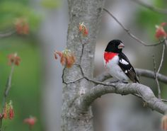nice red breasted grosbeak wallpaper Check more at http://www.finewallpapers.eu/pin/7319/