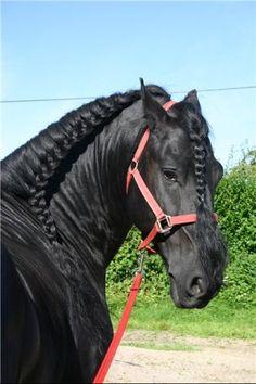 Фризская - фотографии - equestrian.ru