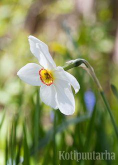 Herkkää valkonarsissia (Narcissus poëticus 'Actaea') sanotaan runoilijanarsissiksi. Sen kukinta ajoittuu touko–kesäkuun vaihteeseen. Istuta narsissin sipulit syksyllä maan jäähdyttyä, kuitenkin hyvissä ajoin ennen maan jäätymistä, jotta sipulit ehtivät juurtua. Kuva: Hanna Marttinen
