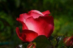 Rosa, Vermelho, Flor, Flor Rosa, Planta