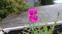 Blume nummer 2: endlich ist die Blüte aufgegangen. Ich bin mir ziemlich sicher das es eine Nelken art ist, oder was meint ihr? Plants, Flowers, Plant, Planets