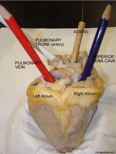 Step by step heart dissection but is for a sheep (not pig) Teaching Science, Science Education, Life Science, Heart Anatomy, Body Anatomy, Basic Anatomy And Physiology, Medical Anatomy, Animal Science, Thyroid Cure