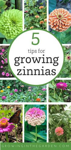 How to grow Zinnias - 5 Tips for Growing Zinnias Container Gardening Vegetables, Succulents In Containers, Container Flowers, Container Plants, Vegetable Gardening, Organic Gardening, Gardening For Beginners, Gardening Tips, Companion Gardening