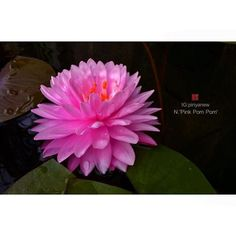 N. 'Pink Pom Pom' (2nd place New Hardy Water Lily 2012)  Hybridized by Tony Moore. #ระเบียงชะนี#nymphaea