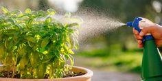 Τρεις οικολογικοί τρόποι προστασίας φυτών Vegetable Garden Design, Urban Farming, Edible Garden, Herb Garden, Agriculture, Farmer, Herbs, Vegetables, Plants