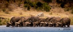 Buffalo having Happy Hour at the Waterhole ©inXSWildlife Wildlife Photography, Art Photography, Amazing Animals, Kruger National Park, African Safari, Conservation, Habitats, Buffalo, Cool Photos