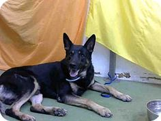 San Bernardino, CA - German Shepherd Dog Mix. Meet URGENT 9/29 @ DEVORE, a dog for adoption. http://www.adoptapet.com/pet/16697196-san-bernardino-california-german-shepherd-dog-mix