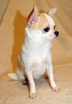 Chihuahua Care - 5 Important Issues Every Owner Should Know - Dog Pets Zone Chihuahua Love, Chihuahua Puppies, Teacup Chihuahua, Cute Puppies, Baby Dogs, Pet Dogs, Dog Cat, Animals And Pets, Funny Animals