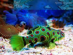 Spotted Mandarin aka Picture Dragonet (Synchiropus picturatus)