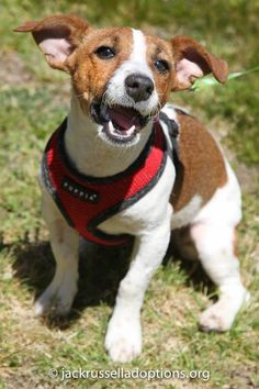 Sophie, Adoptable Jack Russell Terrier | Georgia Jack Russell Rescue, Adoption & Sanctuary #dog #rescue #jackrussell #puppy
