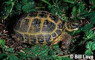 Russian Tortoise Bio