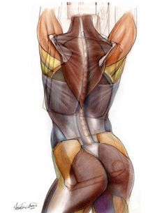 Back muscles anatomy drawing by Chester Chien