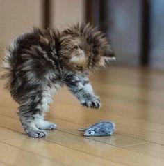 I love cats and kittens! I love cats and kittens! Pretty Cats, Beautiful Cats, Animals Beautiful, Cute Cats And Kittens, Kittens Cutest, Cute Baby Animals, Funny Animals, Funny Cats, Gatos Cats