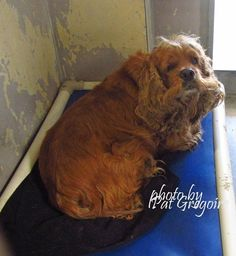 SAFE --- A4773549 My name is Gus. I am a 5 yr old male buff Cocker Spaniel mix. My owner left me here on July 23. available 7/24/15 Baldwin Park shelter https://www.facebook.com/photo.php?fbid=1004062579605579&set=a.705235432821630&type=3&theater