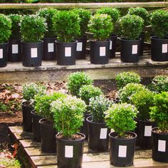 These English and American boxwoods are propagated from the Boxwood Gardens at Shirley Plantation! Take home a piece of Shirley's 400 year history!