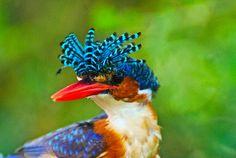 The Malachite Kingfisher, Alcedo cristata, presenting it's elaborately striped crest feathers.